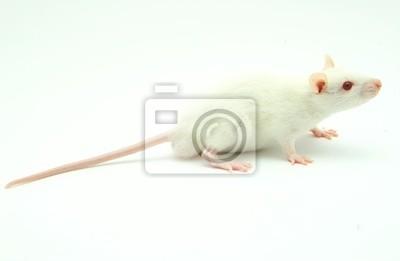 Fototapeta White Rat