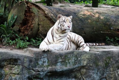 Fototapeta White Tiger 4