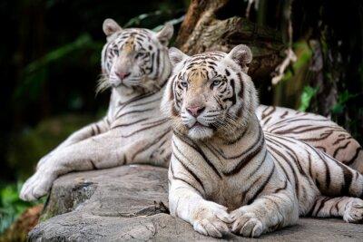 Fototapeta White Tiger at Singapore Zoo