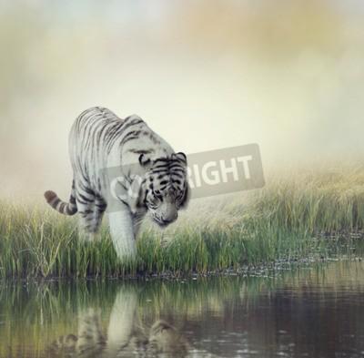 Fototapeta White Tiger w pobliżu stawu