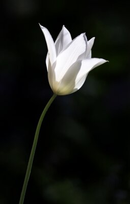 Fototapeta White Tulip