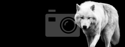 Fototapeta White wolf with a black background