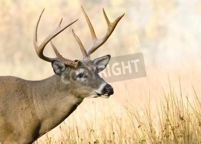 Fototapeta Whitetail Buck blisko do strzału głową.