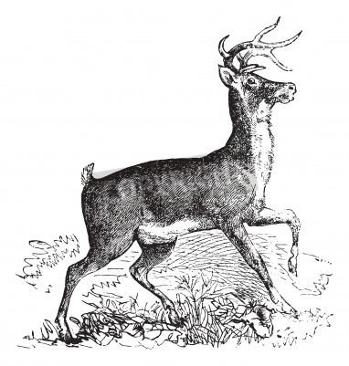Fototapeta Whitetail, Carausius virginianus or Virginia deer vintage engraving. Old engraved illustration of whitetail.