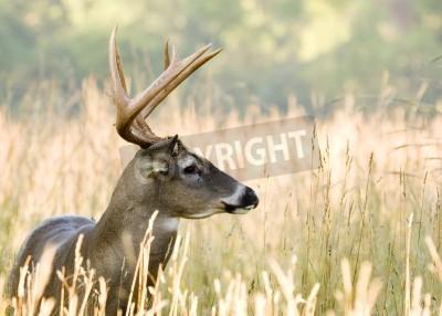 Fototapeta Whitetail deer buck standing in a field.