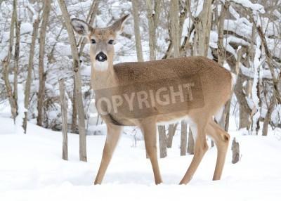 Fototapeta Whitetail jelenie doe stałego w lasach w zimie.