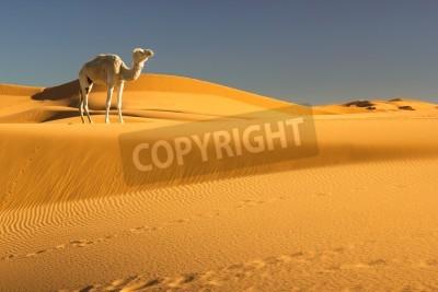 Fototapeta Wielbłąd na pustyni Sahara, Maroko