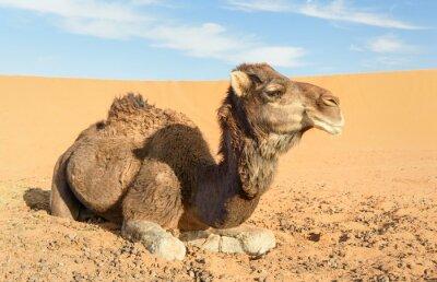 Wielbłąd w Erg Chebbi Wydmy piaszczyste w pobliżu Merzouga, Maroko