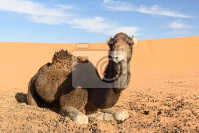Wielbłąd w Erg Chebbi wydmy w pobliżu Merzouga, Maroko