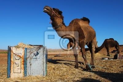 Wielbłądy na pastwiska na Saharze, Maroko, Merzuga