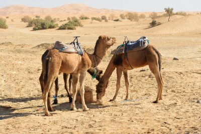 Wielbłądy w Erg Chebbi Wydmy piaszczyste w pobliżu Merzouga, Maroko