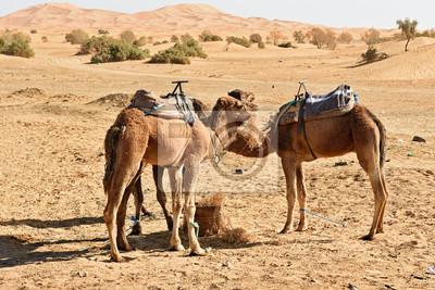 Wielbłądy w Erg Chebbi wydmy w pobliżu Merzouga, Maroko