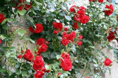 Fototapeta wiele czerwone róże na wiosnę