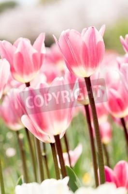 Fototapeta Wiele różowy i biały tulipan