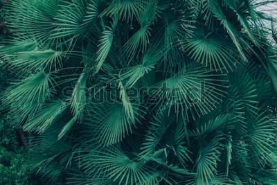 Fototapeta Wiele zielonych liści tropikalnej palmy z rodziny Sabal minor. Naturalne tropikalne tło.