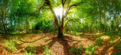 Fototapeta Wielkie drzewo w lesie - przerwy sunbeams Treetop starego drzewa