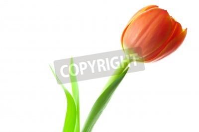 Fototapeta wielobarwne tulipany na białym