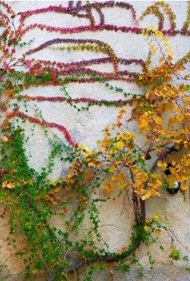 Fototapeta Wielobarwny pnącza roślin na ścianie