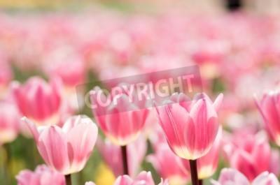 Fototapeta wielu różowy i biały tulipan