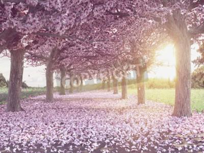 Fototapeta Wiersze pięknie kwitnących wiśni na zielonym trawniku