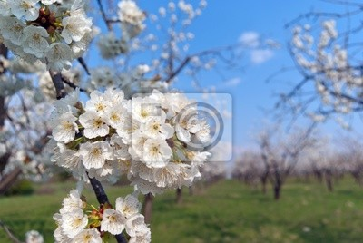 Wiersze Z Pięknie Kwitnących Wiśni Na Zielonym Trawniku Fototapety Redro