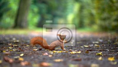 Fototapeta Wiewiórka czeka na orzechy, jesień w parku
