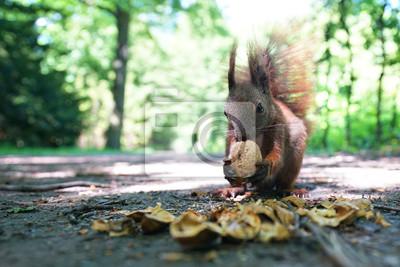 Fototapeta Wiewiórka z bliska