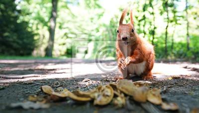 Fototapeta Wiewiórki w parku