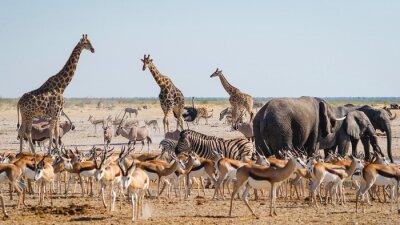 Fototapeta Wild animals congregate around a waterhole in Etosha National Park, northern Namibia, Africa.