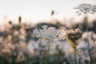 Fototapeta Wild flower in the sundown