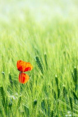 Fototapeta wild poppy flower in a barley field