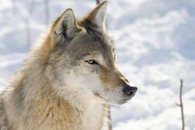 Fototapeta Wilk (Canis lupus) w zimie