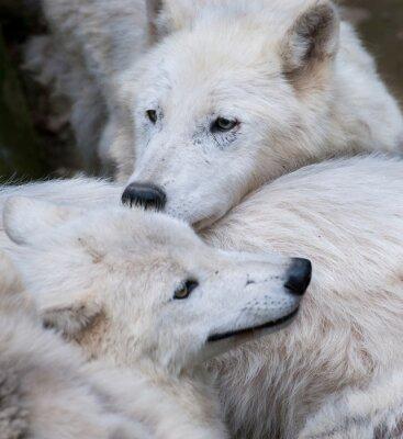Fototapeta Wilk Hudson, Canis lupus hudsonicus, Wolf Pack