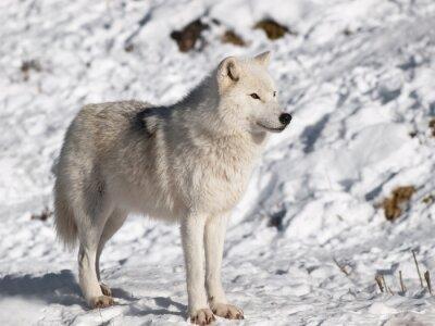 Fototapeta Wilk polarny w zimie w środowisku naturalnym