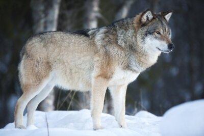 Fototapeta Wilk stojący w lesie ostrej zimy