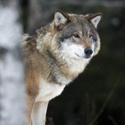Fototapeta Wilk w zimie zimno