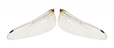 Wings of insect isolated on a white