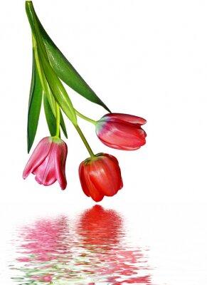Fototapeta wiosenne kwiaty tulipany na białym tle