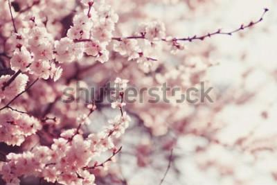 Fototapeta Wiosenne kwiaty wiśni, różowe kwiaty.