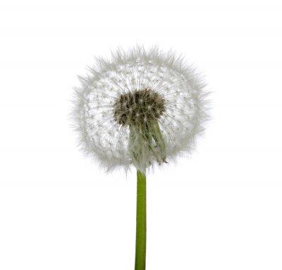 Fototapeta Wiosna dandelion