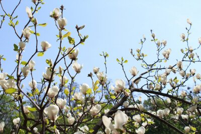 Fototapeta Wiosna kwiat Magnolia w słońcu z błękitne niebo