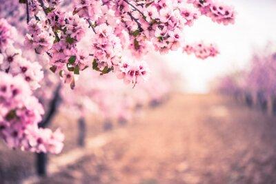 Fototapeta Wiosna kwiat sadu. Streszczenie niewyraźne tło.