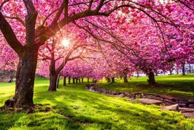 Fototapeta Wiśniowe drzewo wybuchu w Hurd Park, Dover, New Jersey