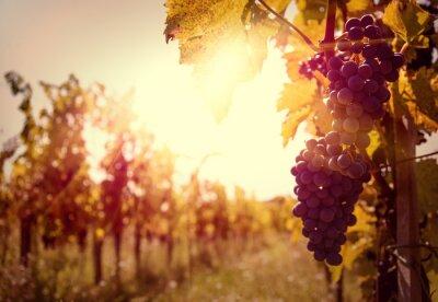 Fototapeta Włoska Winnica o zachodzie słońca w jesieni zbiorów