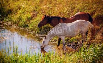 Fototapeta Wody Brown i białe konie picie z potoku w czasie zachodu słońca. Efekt stylu vintage