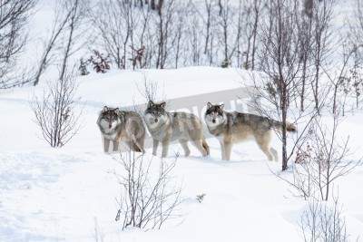 Fototapeta Wolf pack in a norwegian winter forest  Snowing