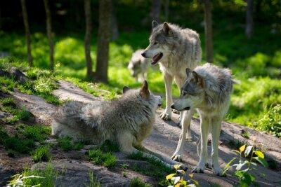 Fototapeta Wolf Pack Trzech wilkami