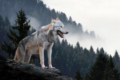 Fototapeta Wolf polowanie w górach