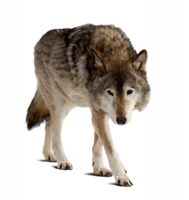 Fototapeta wolf. Samodzielnie na białym tle