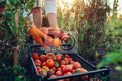 Fototapeta Woman farmer putting tomatoes in box on eco farm. Gathering autumn crop of vegetables. Farming, gardening